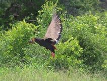 Águila de Bateleur Imagen de archivo