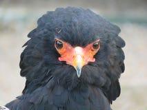 Águila de Bateleur Foto de archivo
