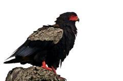 Águila de Bateleur (ecaudatus de Terathopius) Imágenes de archivo libres de regalías