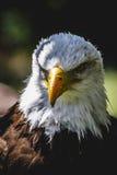 Águila de cabeza blanca americana Foto de archivo