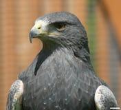 Águila de Cordillere Fotos de archivo