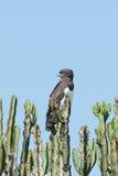 águila de corredor de cross Negro-de pecho Imagen de archivo libre de regalías