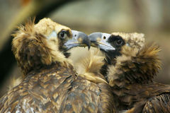 Águila de dos amantes Foto de archivo libre de regalías