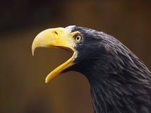 Águila de griterío Fotos de archivo