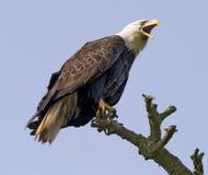 Águila de griterío en el salvaje Imagenes de archivo