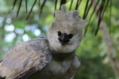 Águila de Harpy Fotografía de archivo