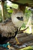 Águila de Harpy Foto de archivo libre de regalías