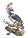 Águila de Harpy (harpyja del Harpia) Fotos de archivo libres de regalías