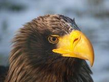 Águila de Kamchatka - pelagicus del Haliaeetus Imagen de archivo libre de regalías