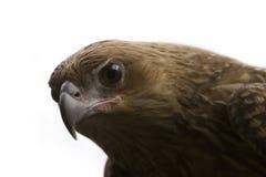 Águila de la Acuñar-Cola Fotografía de archivo