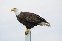Águila de la ciudad Fotografía de archivo libre de regalías