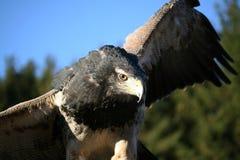 Águila de la estepa Imagenes de archivo