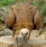 Águila de la estepa Imágenes de archivo libres de regalías