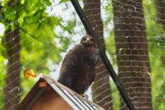 Águila de la estepa en cautiverio en el tejado imagen de archivo