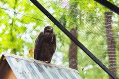 Águila de la estepa en cautiverio en el tejado Fotografía de archivo libre de regalías