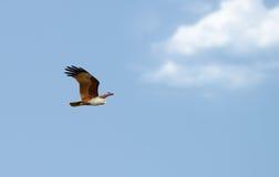 Águila de la mosca fotografía de archivo