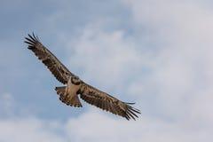 Águila de la serpiente de Blackchested imagen de archivo libre de regalías