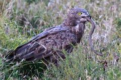 Águila de la serpiente de Brown con su presa Fotos de archivo libres de regalías