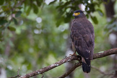 Águila de la serpiente en una rama Foto de archivo libre de regalías