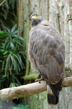 Águila de la serpiente o cheela con cresta de los spilornis Imagen de archivo