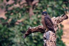 Águila de la serpiente o cheela con cresta de los spilornis Fotos de archivo libres de regalías
