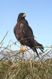 Águila de las Islas Gal3apagos fotografía de archivo libre de regalías