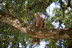 Águila de los animales 023 Fotografía de archivo