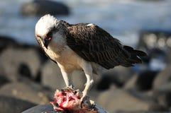 Águila de mar Foto de archivo libre de regalías
