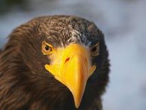 Águila de mar Foto de archivo