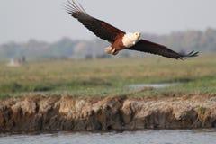 Águila de mar Fotografía de archivo libre de regalías