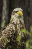 Águila de mar (albicilla del Haliaeetus) Imagen de archivo