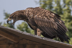 Águila de mar (albicilla del Haliaeetus) Foto de archivo libre de regalías