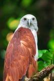 Águila de mar apoyada rojo que me mira imagenes de archivo