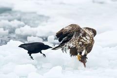 Águila de mar atada blanco con el cuervo Fotos de archivo