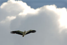 Águila de mar blanca del vientre Imagenes de archivo