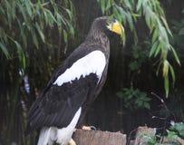 Águila de mar de Steller Fotografía de archivo libre de regalías