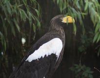 Águila de mar del ` s de Steller Fotografía de archivo