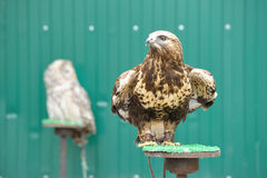 Águila de oro Fotografía de archivo libre de regalías
