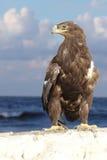 Águila de oro Imagen de archivo