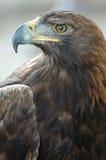 Águila de oro Imagenes de archivo