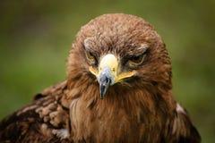 Águila de oro Fotografía de archivo
