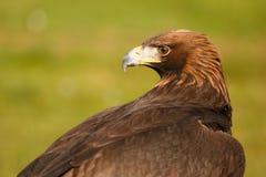 Águila de oro Imagen de archivo libre de regalías