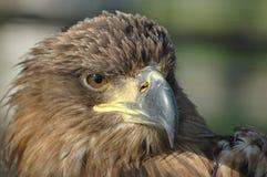 Águila de oro Fotos de archivo libres de regalías