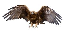 Águila de oro, aislada Fotografía de archivo libre de regalías