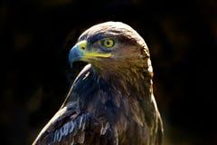 Águila de oro aislada en un fondo oscuro Fotografía de archivo libre de regalías