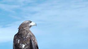 Águila de oro Aquila Chrysaetos almacen de video