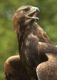 Águila de oro (chrysaetos) de Aquila - Escocia Imagenes de archivo