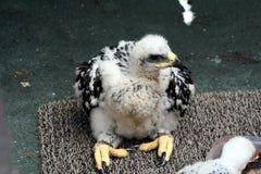 Águila de oro del bebé Foto de archivo libre de regalías