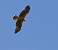 Águila de oro en vuelo Imágenes de archivo libres de regalías