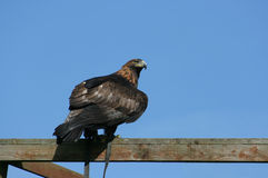 Águila de oro encaramada imagen de archivo